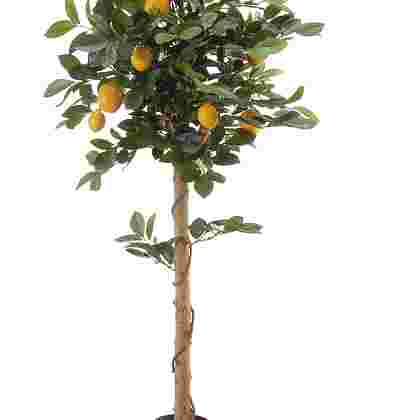 Citroenboom topiary h100cm p grn/gl