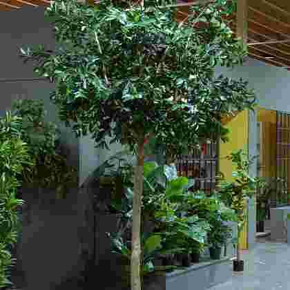 Ficus compact h300cm p groen