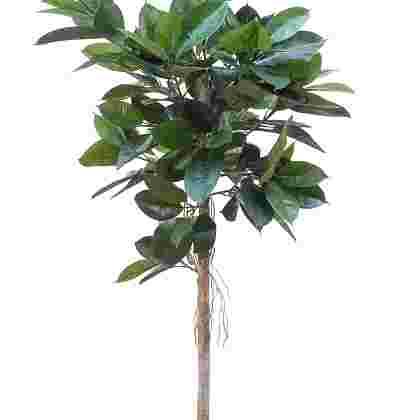 Ficus elastica h160cm p groen