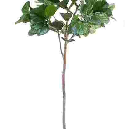 Ficus lyrata compact h200cm p groen