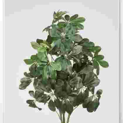 Planta schefflera 90 cm.